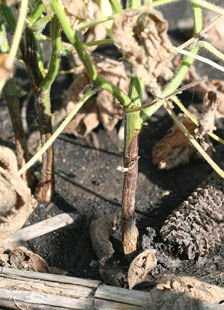 Brown discoloration of soybean stem infected with Phytophthora stem and root rot. (Photo courtesy of Daren Mueller, Iowa State University)