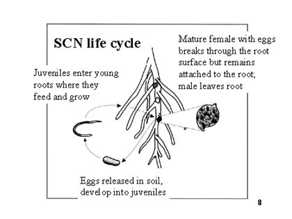 Life cycle of soybean cyst nematode. Photo Courtesy of Iowa State University Extension and Outreach.