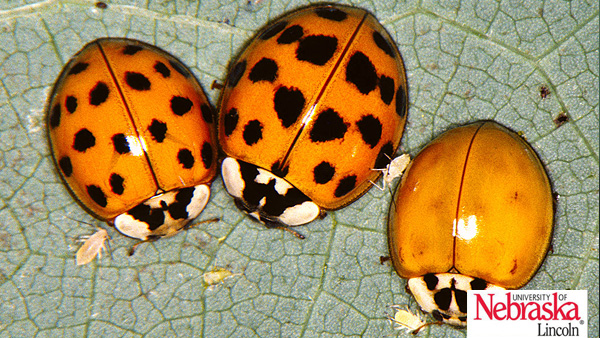 Close up of three beetles on a veiny leaf. The beetles are dome-shaped with orange wings with black spots, and blotchy white and black heads.