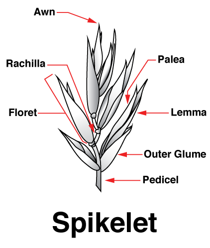 Illustrated diagram of the anatomy of a Spikelet.