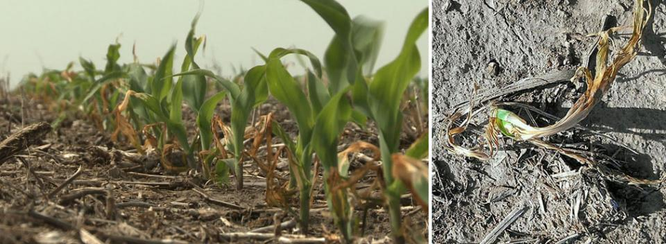 Freeze-damaged corn