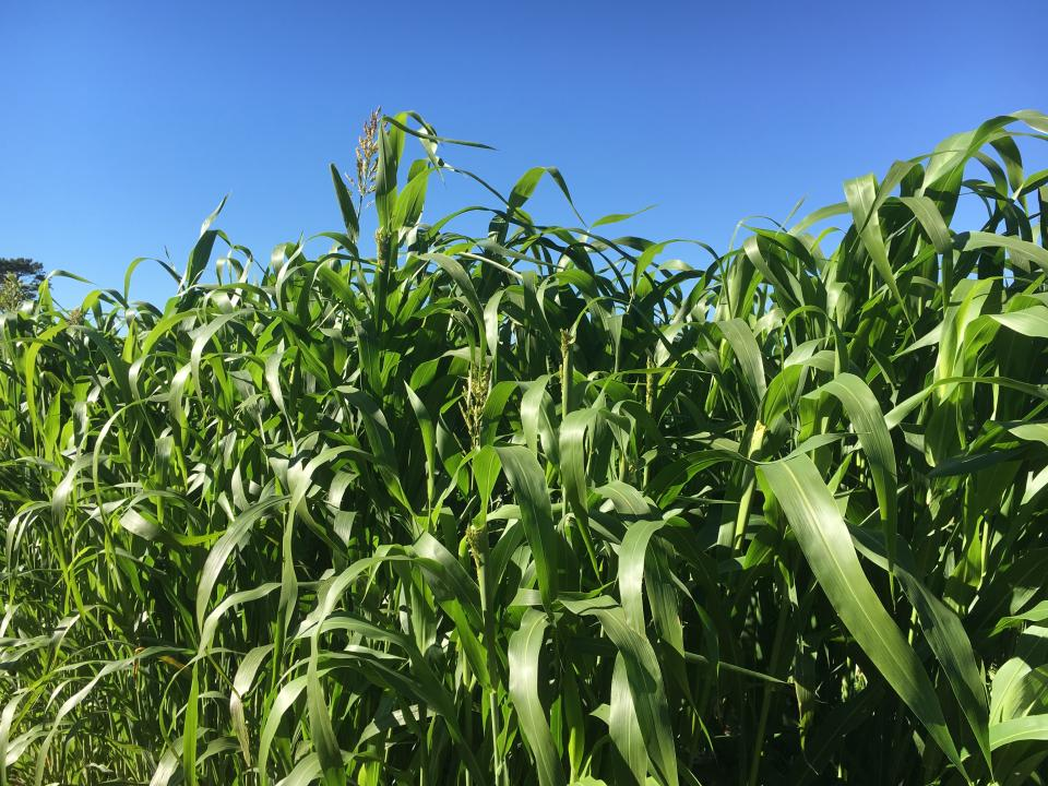 Thick, dense, upper canopy of sorghum-sudangrass, taken in late September in Lincoln.