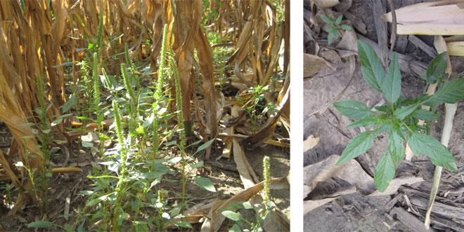 Depictions of Palmer amaranth in corn