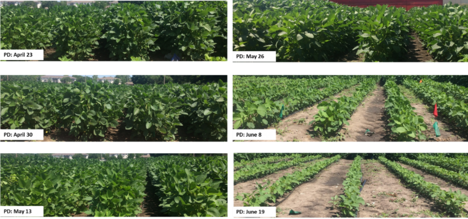 Photos of canopy closure based on various planting dates & Early Bird Gets the Worm: Benefits of Early Soybean Planting ...
