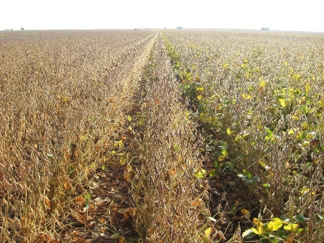 Field of mature soybeans