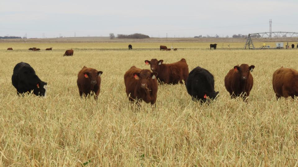 Figure 1. Steers grazing a mix of oats, turnips and radishes in mid-December. At this point in Experiment 4 there was still 1.5 ton dry matter per acre and calves grazed until mid-January when the weather ended grazing due to the forage being iced to the ground.