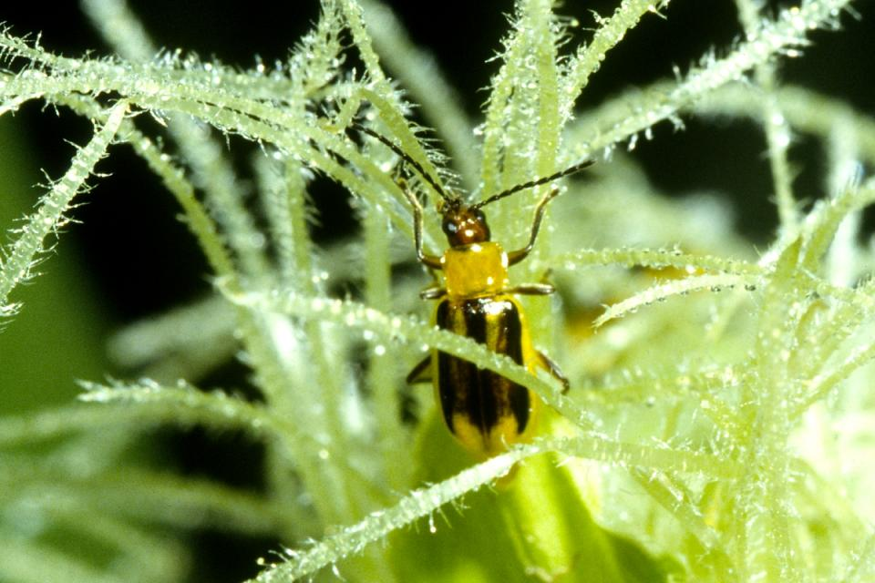 western corn rootworm