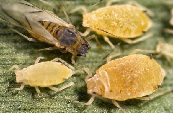 Figure 1. Sugarcane aphids. (Photo credit: Patrick Porter, Texas Cooperative Extension, Bugwood.org)
