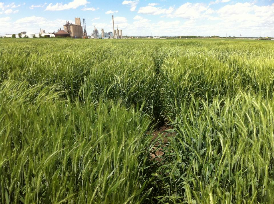 In these research trials in western Nebraska winter triticale was found to offer several advantages over winter barley as a cover crop.