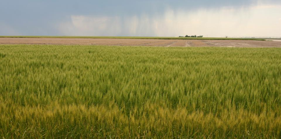 It usually takes five to 10 years of research and testing before a new wheat variety is released for production. (Photo by David Ostdiek)