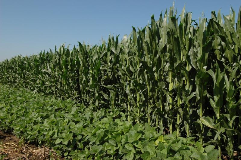 Soybean field beside a corn field