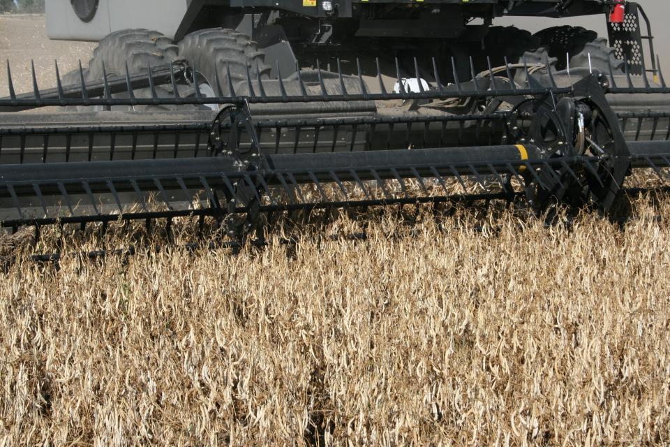 Dry bean direct harvesting