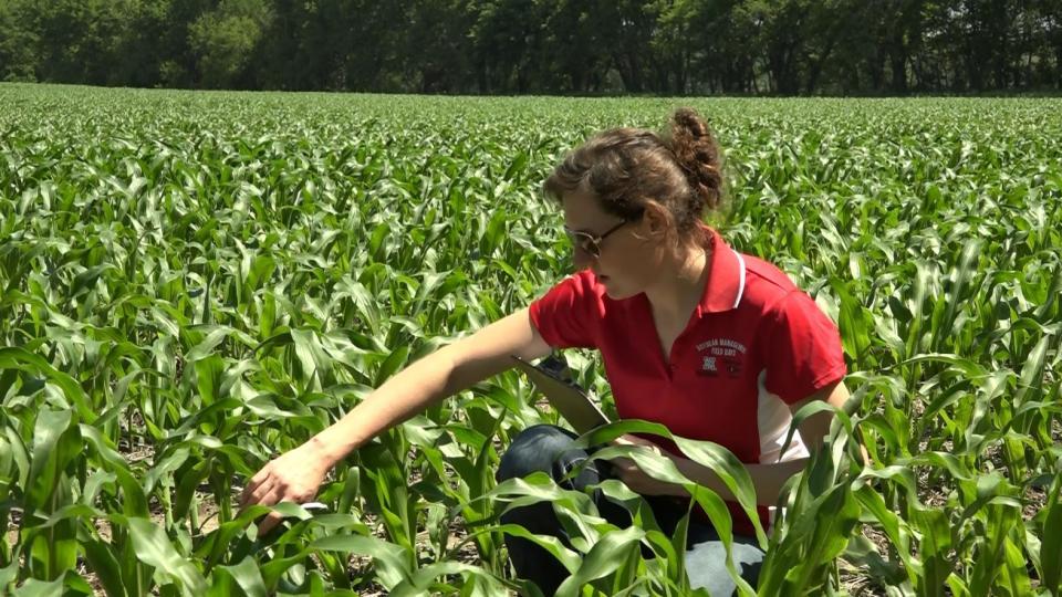 Nebraska Extension Educator Laura Thompson scouting a corn field