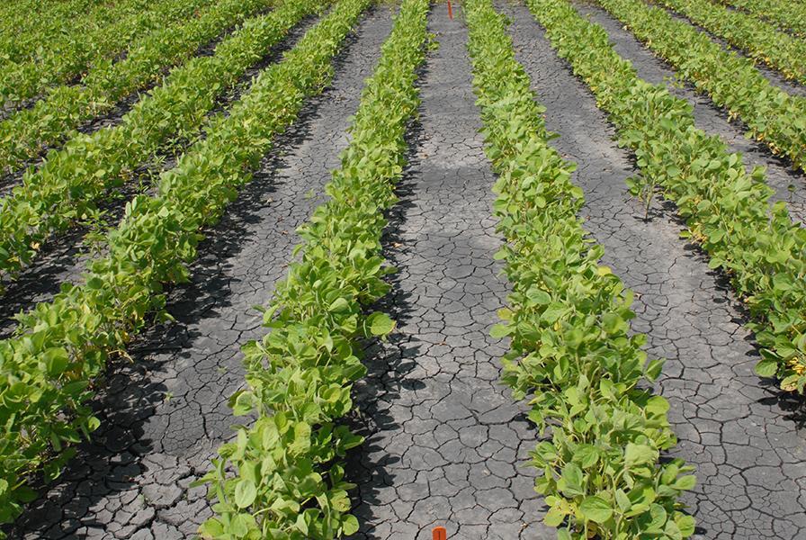 Liberty Link soybeans