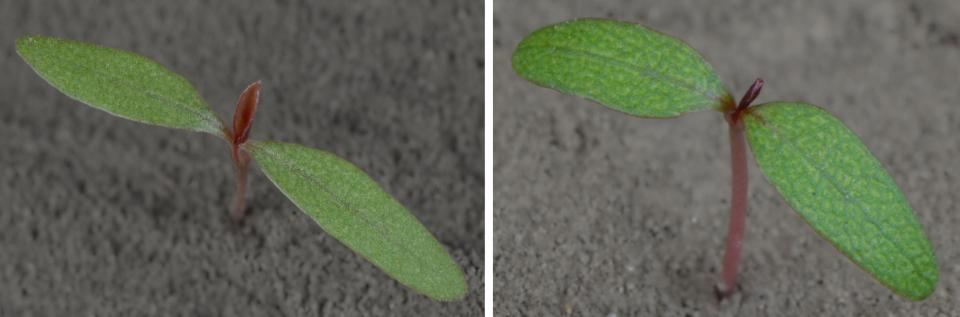 Photos of the Palmer amaranth and common waterhemp plants at cotyledon stage