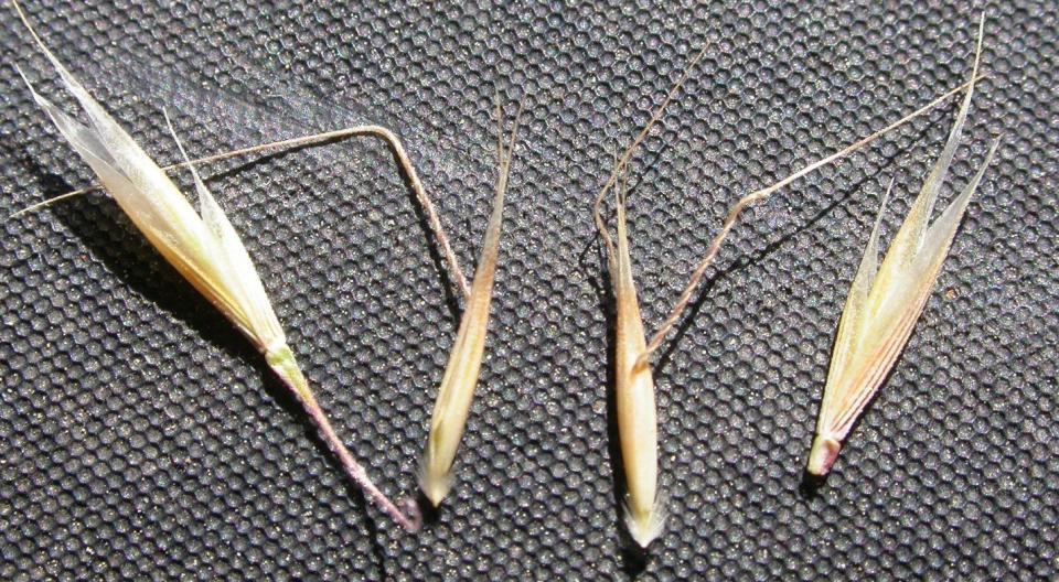 Ventenata plants