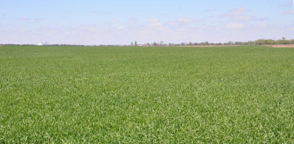 Wheat field April 27, 2017