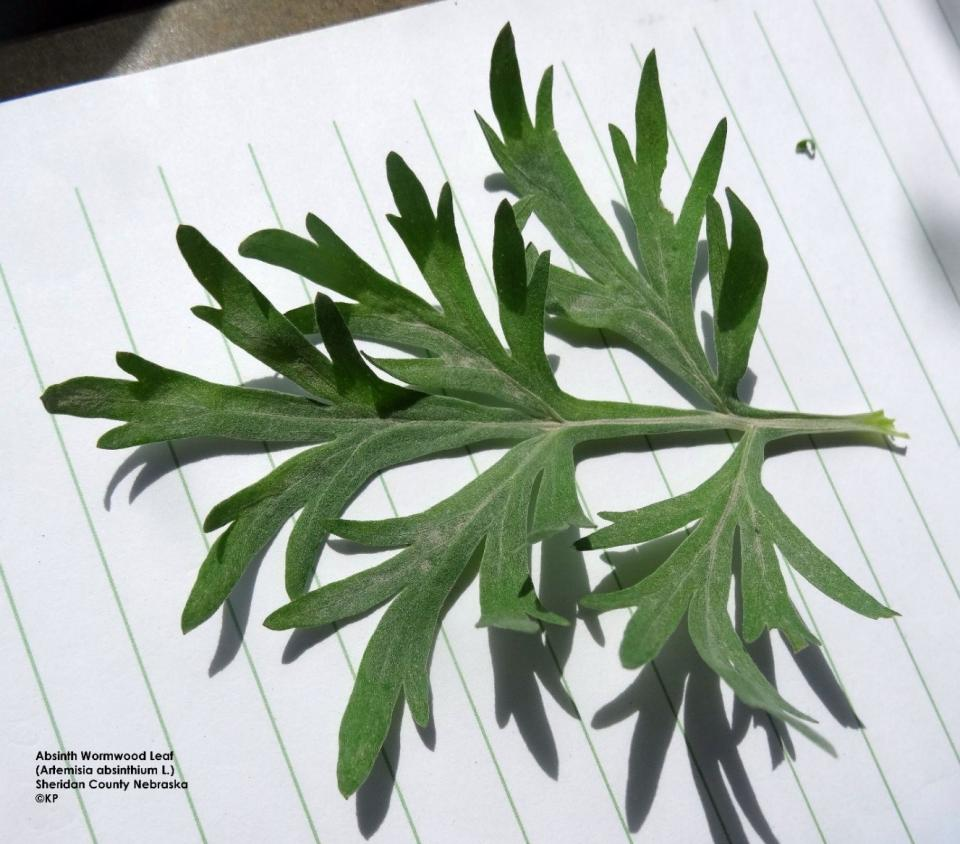 Absinth wormwood leaf