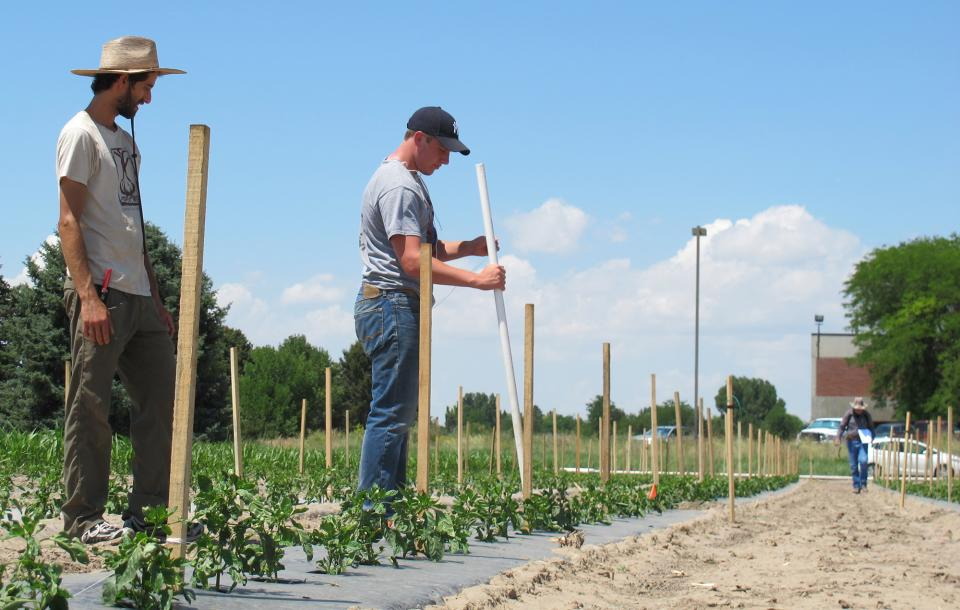 Graduate student Ben Samuelson and research technician John Stark install poles and twine for  trellising to support the young pepper plants in the research plot at Scottsbluff. Extension  Educator Gary Stone is in the background