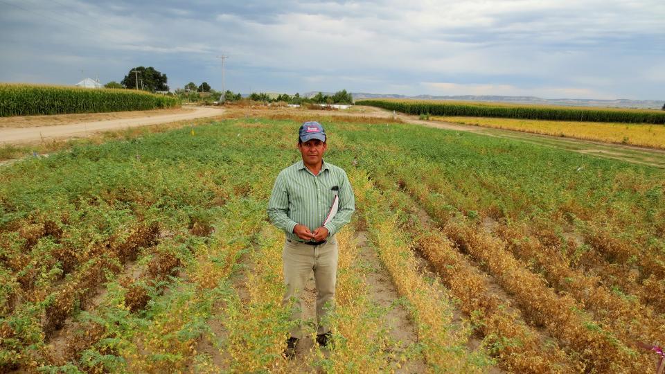Carlos Urrea in a field of chickpea disease resistance trials.