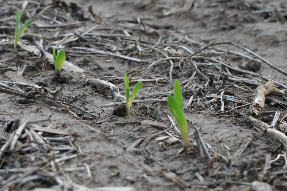"""Corn seedlings exhibiting """"yellow banding"""""""