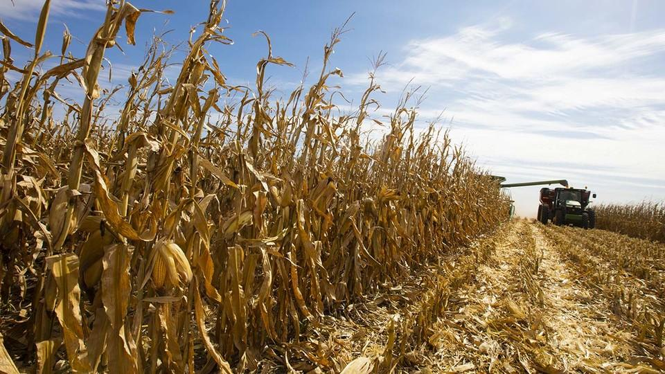 Corn being harvested