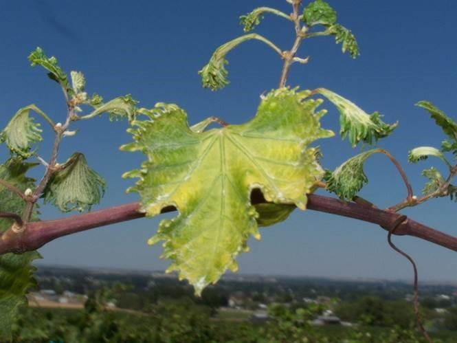 Grape leaves damaged by pesticide drift