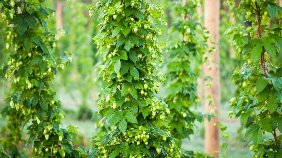 Hops Field Day And Scouting Workshop July 22 Cropwatch