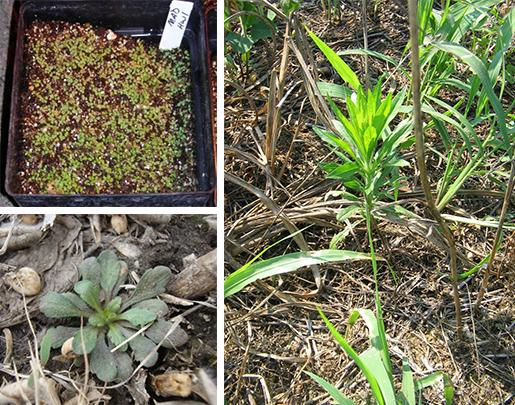Horseweed plant stages