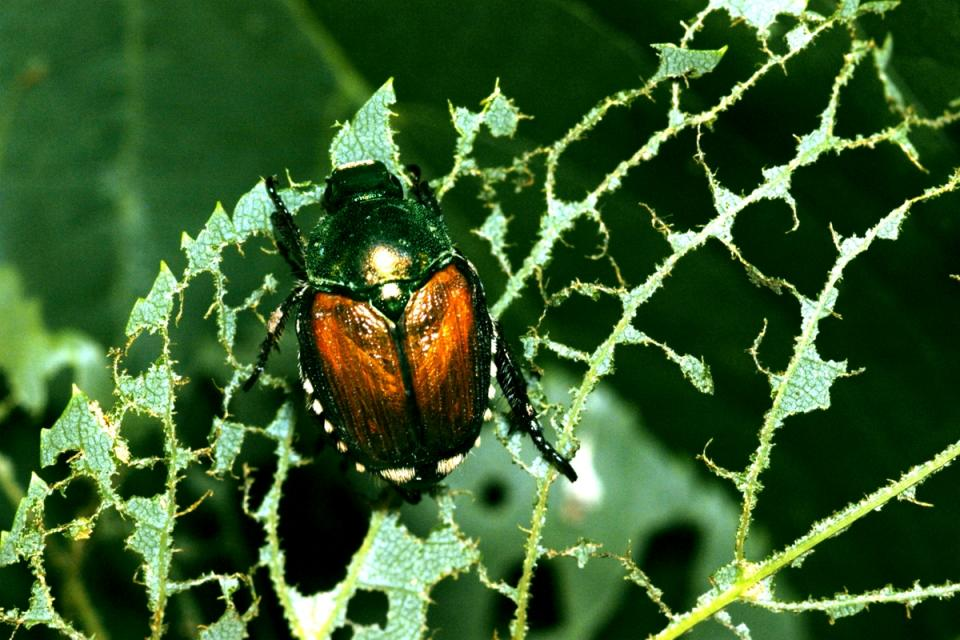 Nebraska Extension Pest Of The Month Anese Beetle Cropwatch