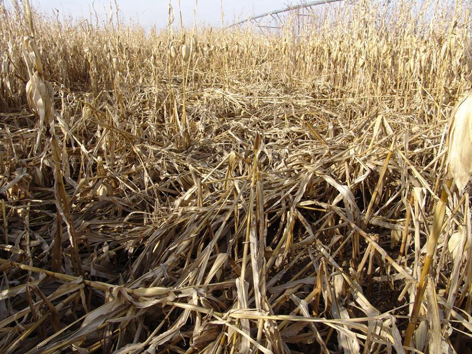 Lodged corn
