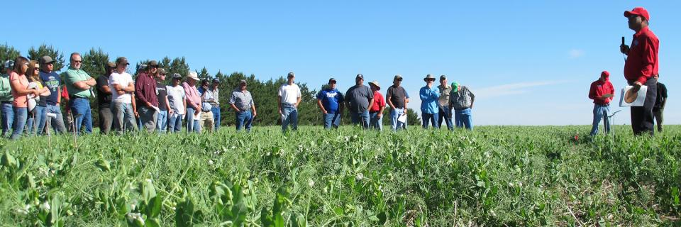 pea variety trials at the High Plains Ag Lab