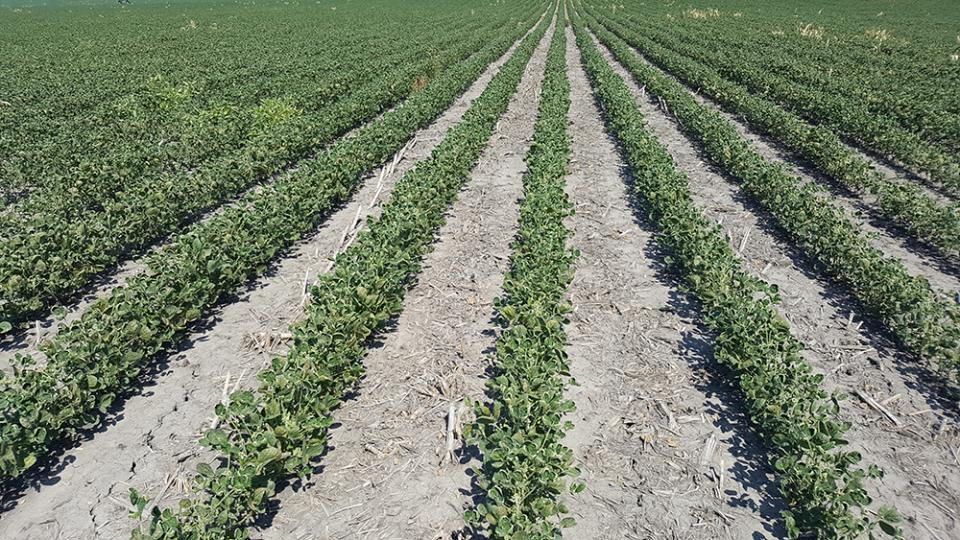 Dicamba injury symptoms in a Roundup Ready soybean field