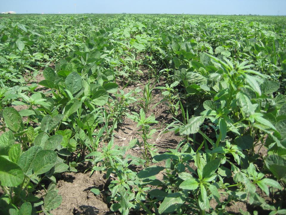 Weed escapes in soybean after preemergence application