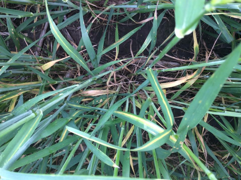 Wheat exhibiting yellow streak of cephalosoprium leaf stripe