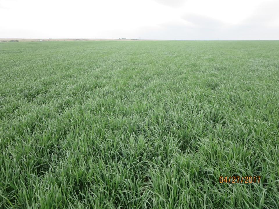 Field of wheat near McCook April 27, 2017.