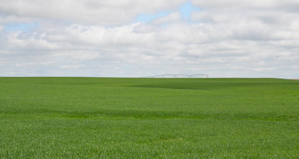Irrigated wheat field