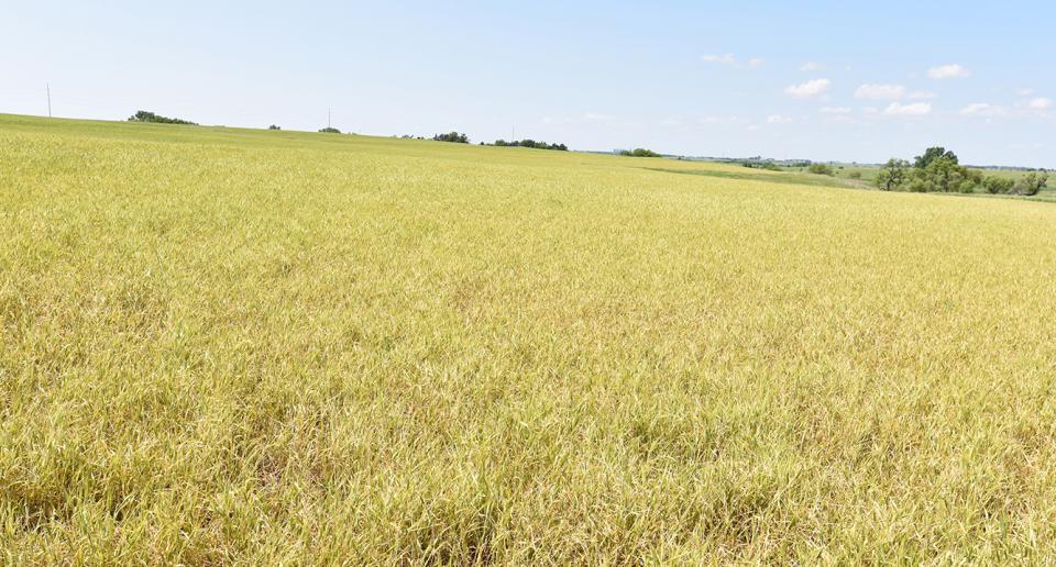 Severe wheat streak mosaic