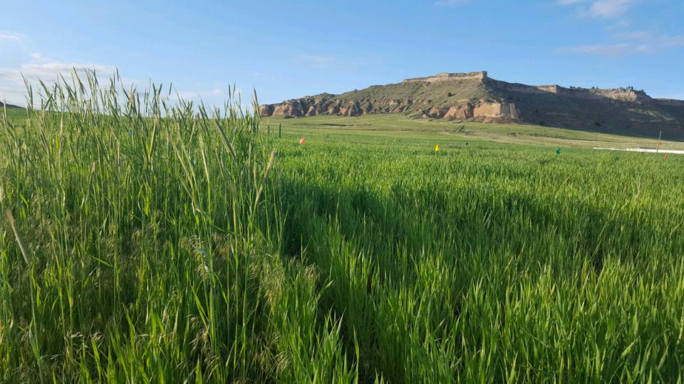 Comparison of two wheat research plots near Scottsbluff. On the left is an untreated control plot with a heavy infestation of downy brome and feral rye. On the right the same population of grassy weeds was treated with Aggressor herbicide, part of the CoAXium Wheat Production System.