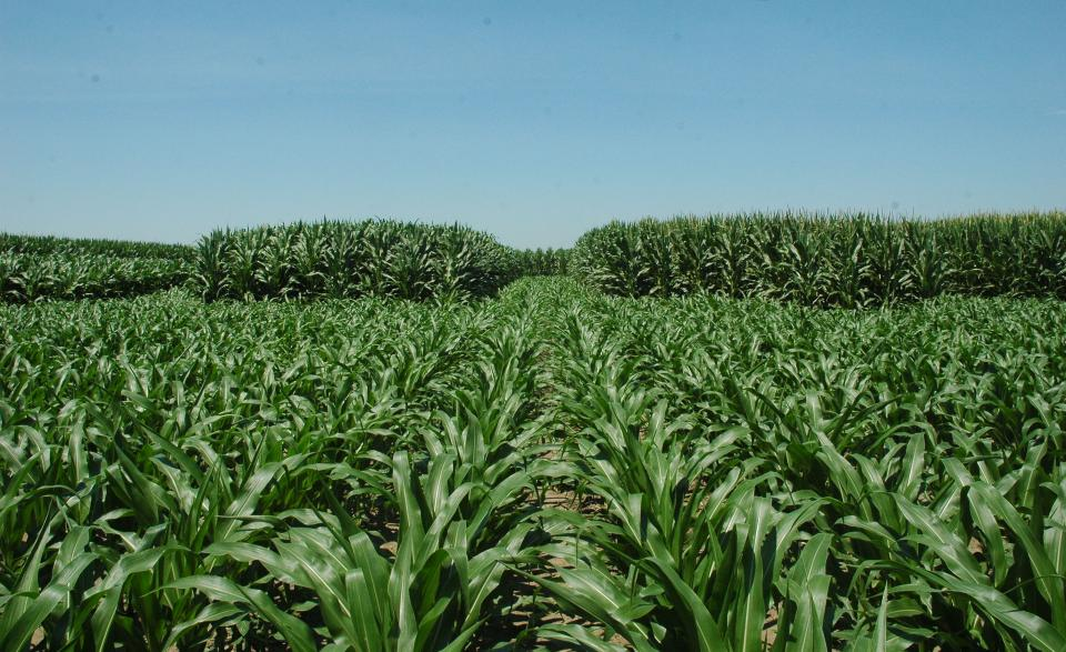 Corn plots 7-9-18
