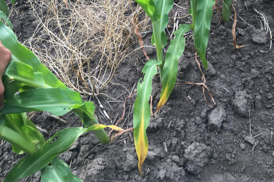 Corn leaves showing signs of nitrogen deficiency