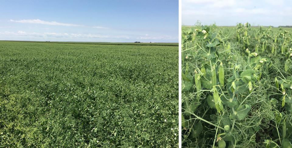 Field of field peas