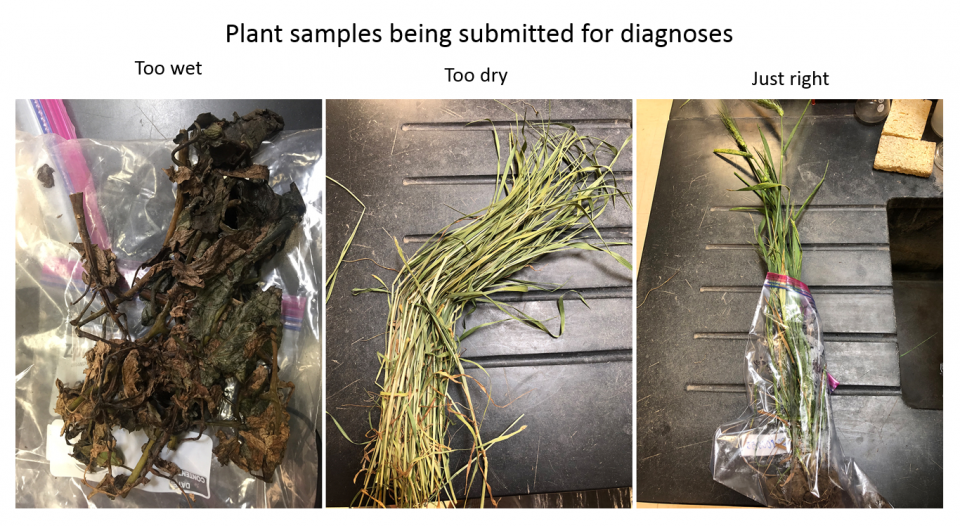 Examples of good and bad samples received at the Plant and Pest Diagnostic Clinic