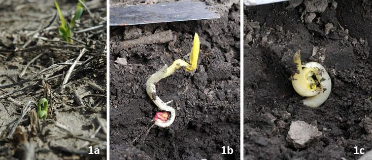 Figure 1. Planting into cold soil (below 50°F) when cold conditions are expected for the next 48 hours can lead to germination problems and seedlings not emerging or not emerging well. 1a. Corn seedling that started leafing out below ground and now has twisted leaves which will delay or negate normal plant development.. Figures 1b-c. Unemerged seedlings attempting to leaf out belowground. None of the seedlings shown should be counted as a productive plant.