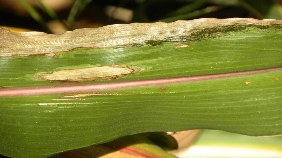 Goss's bacterial wilt and blight and northern corn leaf blight on the same corn leaf.