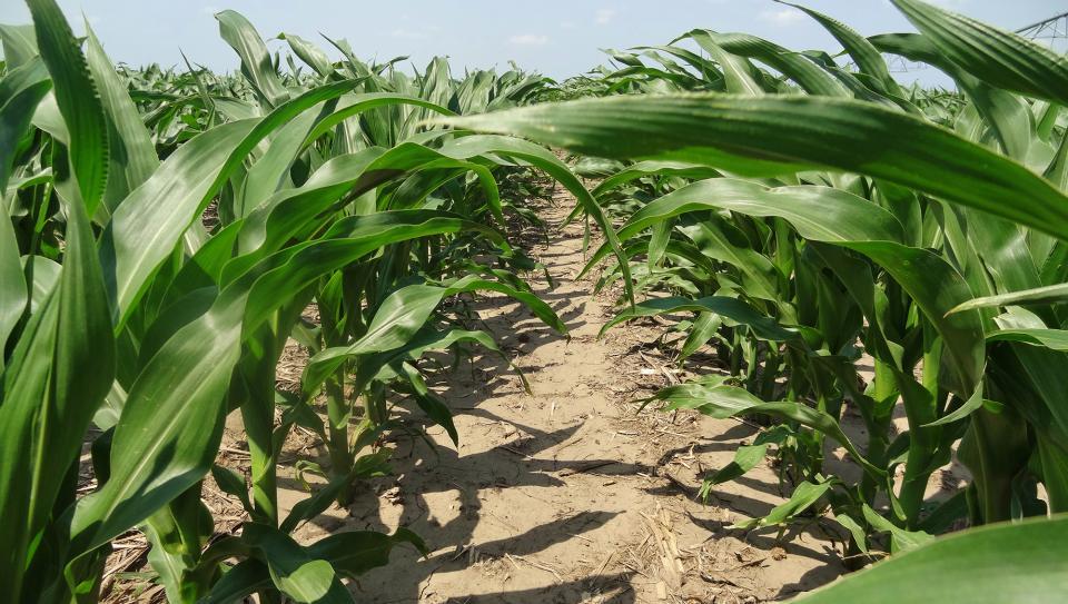 A row of corn