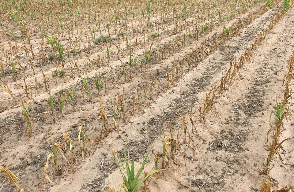 Figure 1. Field of early-planted corn that burned up due to drought conditions during the early season in 2017. (Photo by Strahinja Stepanovic)