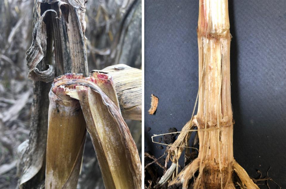Left photo showing corn stalk breakage from Gibberela stalk rot and right photo showing corn stalk damage from Fusarium stalk rot.