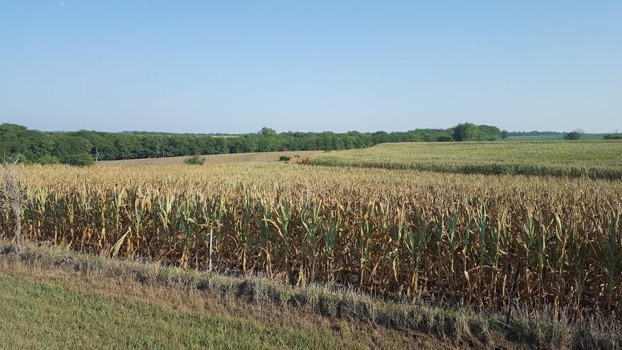 Corn field damaged by drought