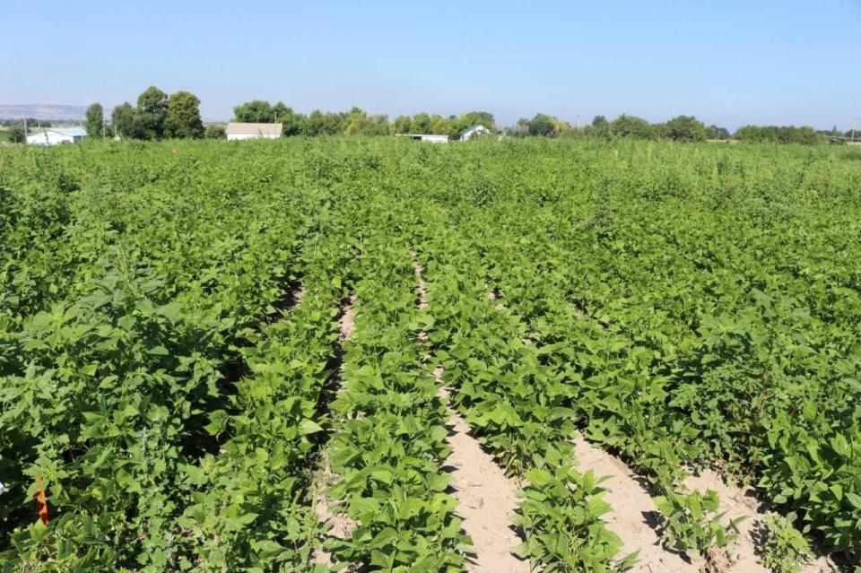 Weed control research in dry bean plots